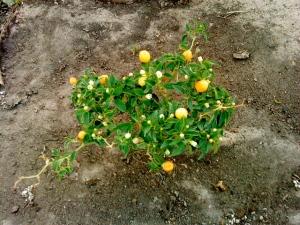 Little Chili Tree