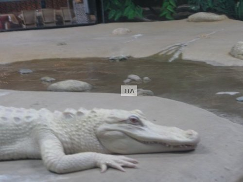 White Alligator 03